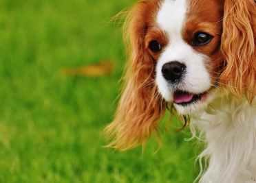 dog-cavalier-king-charles-spaniel-funny-pet-162167.jpeg