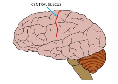 central-sulcus.jpg